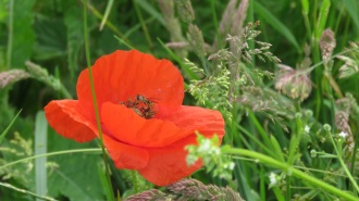In Flanders Fields the Poppies blow ...